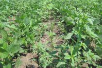 Nebraska Soybeans: Know Growth Stage Restrictions Before Using Postemergence Herbicides