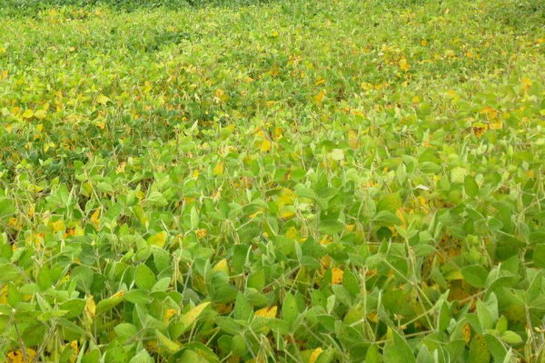 Ohio Cover Crops: Seeding Into Standing Soybeans