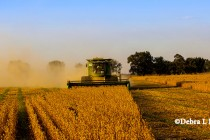Arkansas Field Reports: Corn Harvest Nearly Finished, Soybeans Taking Off