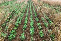 Weed Control with Cover Crops – Don't Fall Prey to Confirmation Bias