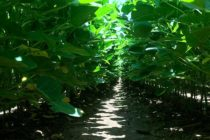 Arkansas Soybeans: Crops Aided by Cooler Temps, Herbicide Drift Leaves Yields in Question