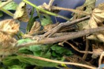 Soybeans: Researchers Identify Gene for Resistance to Costly Stem, Root Rot