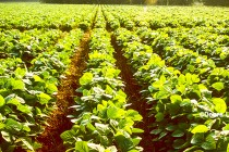 Georgia: Colquitt County Cotton and Soybean Insect Management Meeting, Aug. 6