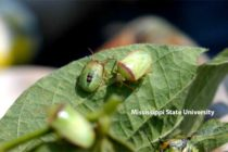 Redbanded Stink Bug Concerns – ArkLaMiss Forum Set For August 17