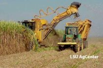 Louisiana Sugarcane: Potential New Varieties, Plant Diseases Highlight Field Day
