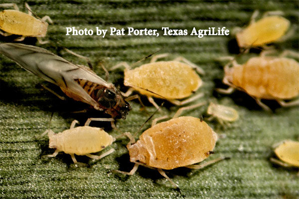 Texas West Plains: Sugarcane Aphid in Sorghum; Keep Scouting the Cotton