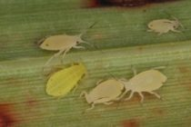Texas Sorghum: Sugarcane Aphids Spread in Panhandle