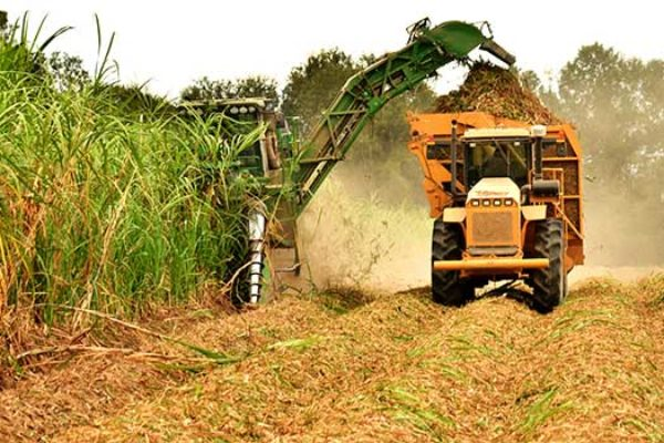 Louisiana Field Reports: Ideal Conditions for Sugarcane, Ratoon Rice Harvest