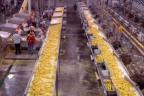 Illinois Sweet Corn: Pick the Workhorse Variety for Processors