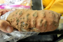 Louisiana Sweet Potatoes: New Nematode Could Threaten Crop