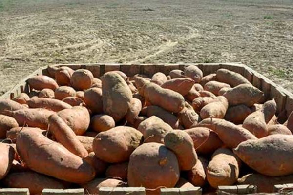 Mississippi: Sweet Potato Field Day, Pontotoc, Aug. 31