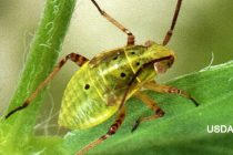 Alabama Cotton: Bug Clean Up Spray Advised for Fields in 4th-5th Week of Bloom