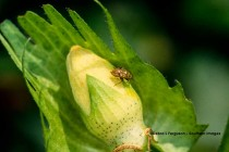 Virginia Cotton: Plantbug Management in Light and Spotty Pressure