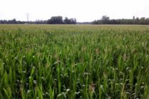 Ohio Corn: 5 Considerations for Selecting Hybrids for 2018