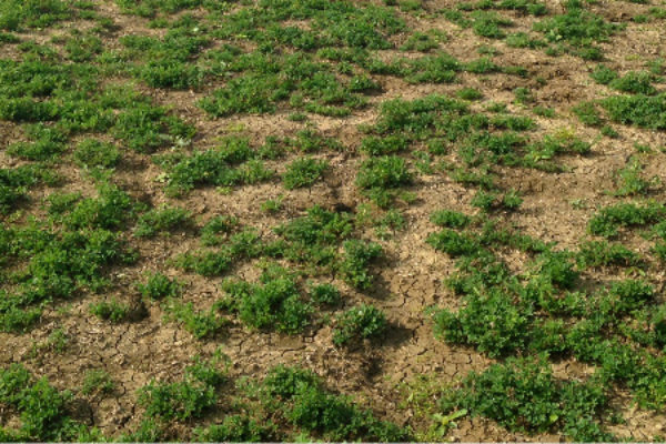 Nebraska: When Is It Time to Replace Thinning Alfalfa Stands?