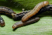 Texas Field Reports: Armyworms Plaguing Pastures, Winter Forages