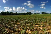Tennessee: Cotton Turning . . . Is It Too Soon?