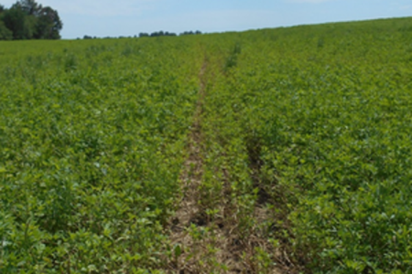 Iowa Alfalfa: Plan to Scout Stands for Winter Survival