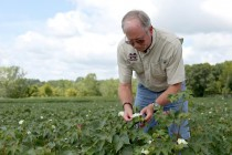 Oklahoma Cotton: Insect Scouting a Top Priority; Boll Weevil Free Equipment Certification