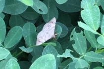 Alabama Peanuts: Weather and Insects – Major Shifts in Pest Activity, Abundance