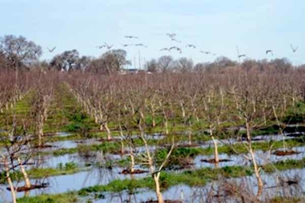 California Orchards: Emergency Fungicide Applications Granted in Cases of Standing Water