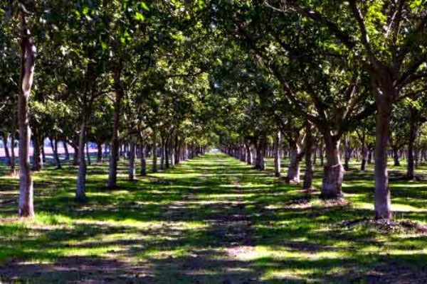 California Walnuts: Replanting Orchards – A Considered Approach
