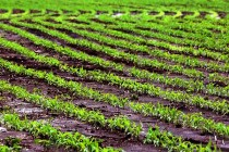 Indiana Corn: How Helpful Is Supplemental Nitrogen in Saturated Soils?