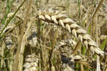 Wheat: Market Outlook for Late December