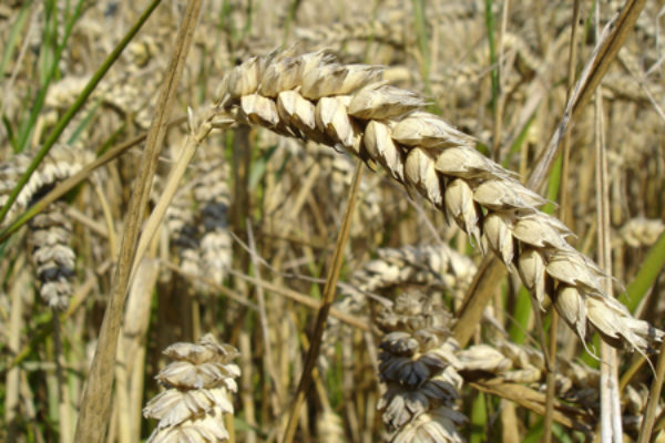Grain TV: Why Kansas Wheat is One to Watch