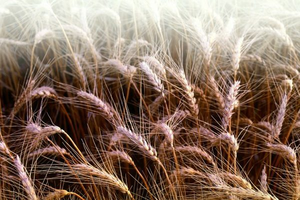 Welch on Wheat: Weak Week for Exports
