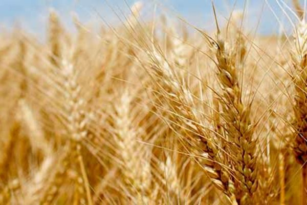 North Dakota: Wheat Producers Will Receive Maximum Farm Bill Payments in 2017