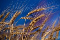 DTN Grain Midday: Wheat Firms in Early Trade