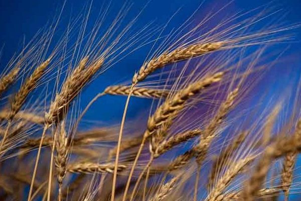 Global Markets: Wheat – Canadian, U.S. Exports Down on Tightening Supplies