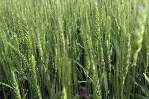 Minnesota: Spring Wheat – A Quick Guide to Profitable Sulfur Fertilization
