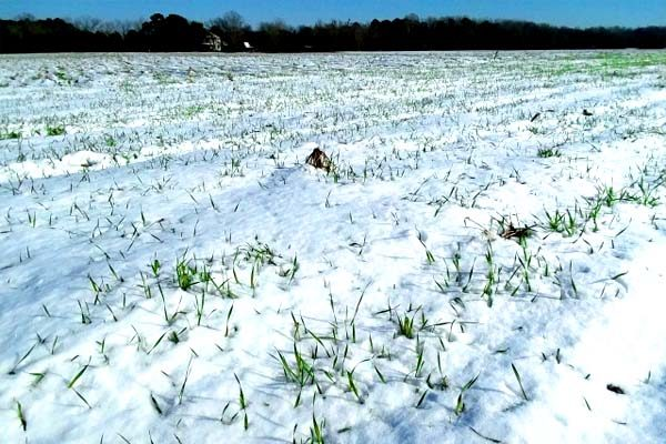 South Carolina: How Has the Cold Affected Pee Dee Winter Crops?