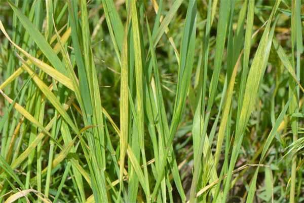 Oklahoma: Wheat Streak Mosaic – Get Out and Control Volunteer Wheat