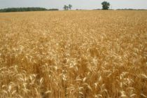 Wheat: Extreme Weather, Climate Change Account for 40% of Global Production Variability