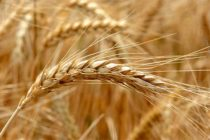 Oklahoma Wheat: Combines Moving Ahead Despite Weather Factors