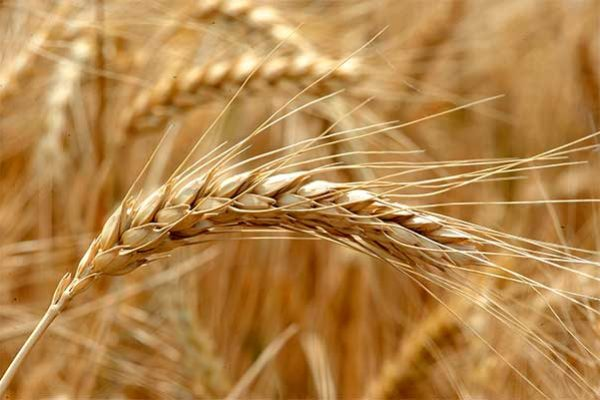 DTN Grain Midday: Wheat Leads in Lightly Higher Trade