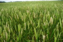 Delaware Wheat: Flowering Fields at Heightened Scab Risk