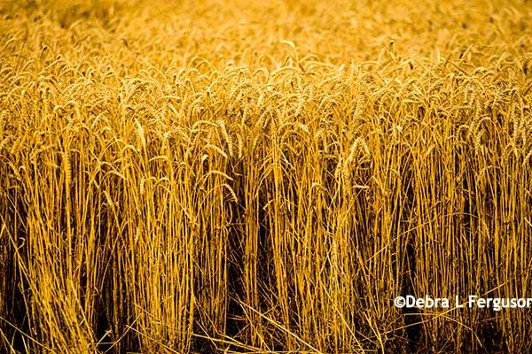 Texas: Wheat Production Meeting, Bovina, Aug. 31