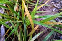 Kansas Wheat: Researchers Identify New Gene to Resist Wheat Streak Mosaic Virus