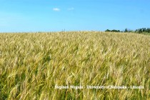 Louisiana Wheat: Acreage Affected by Diseases, Weather
