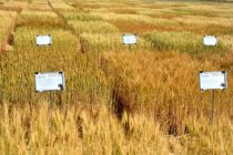 Texas: Wheat Variety 'Picks' Offered Statewide by AgriLife Extension