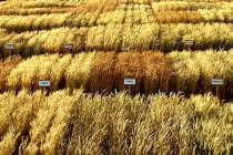 Mississippi Wheat: 2017 Suggested Variety Short List