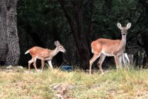 Deer: Researchers Sorting Out the Cause of Chronic Wasting Disease