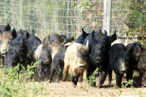 Texas: Wild Hog Management