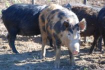 Wild Hogs – Transporting Them? Don't Even Think about It in Mississippi.