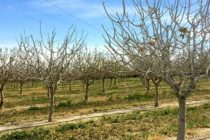 California Tree Crops: Rising Temps Shorten Chill Hours, Affect Yield