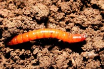 South Dakota Sorghum: Wireworms Busy Reducing Stands